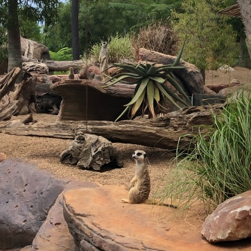 My favorites- Meerkats!