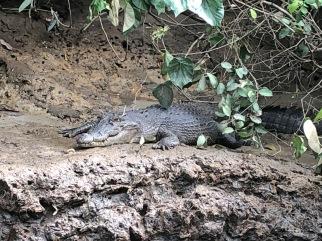 Saltwater croc sighting
